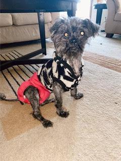 scruffy dog with diaper