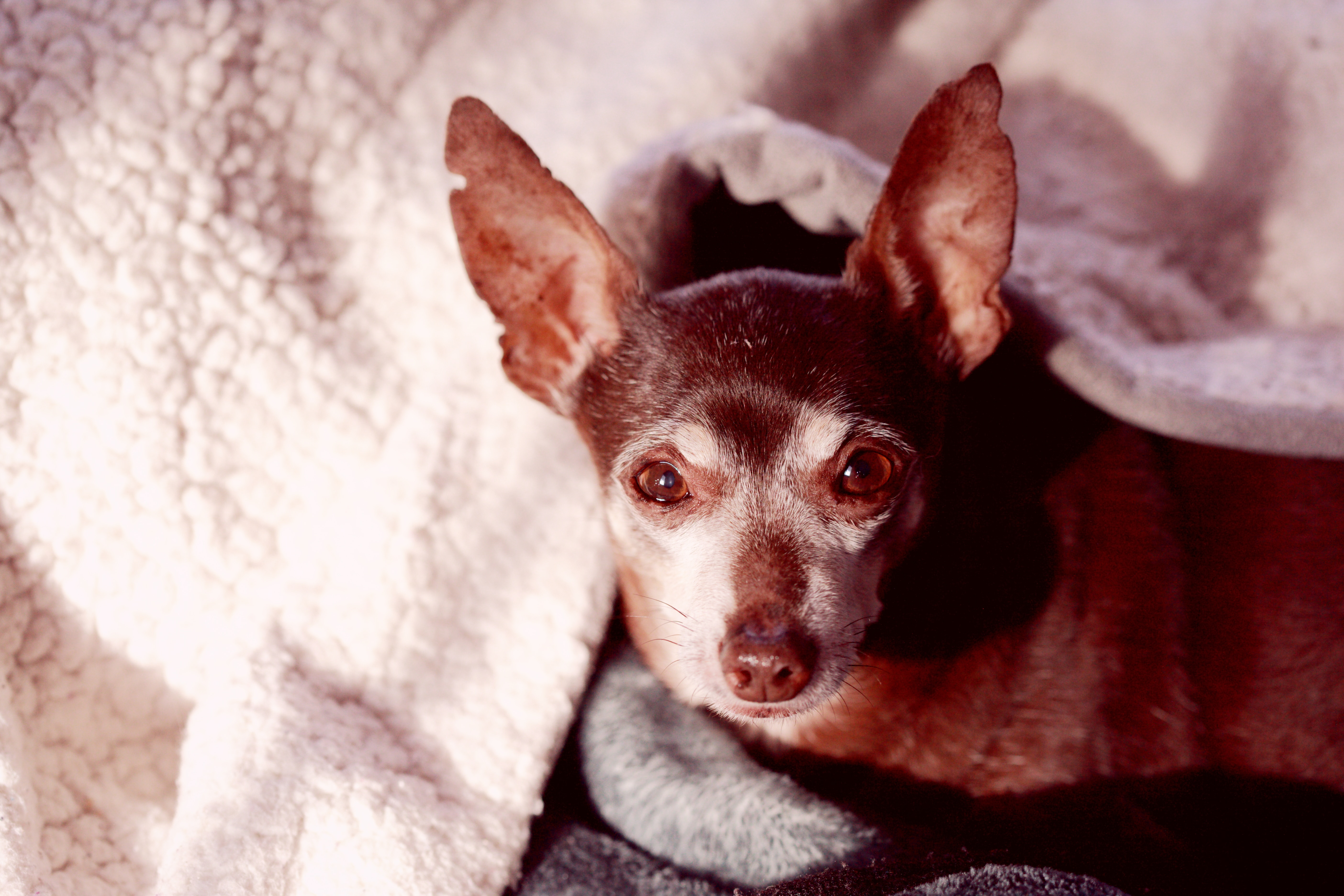 Brown Chihuahua under blanket