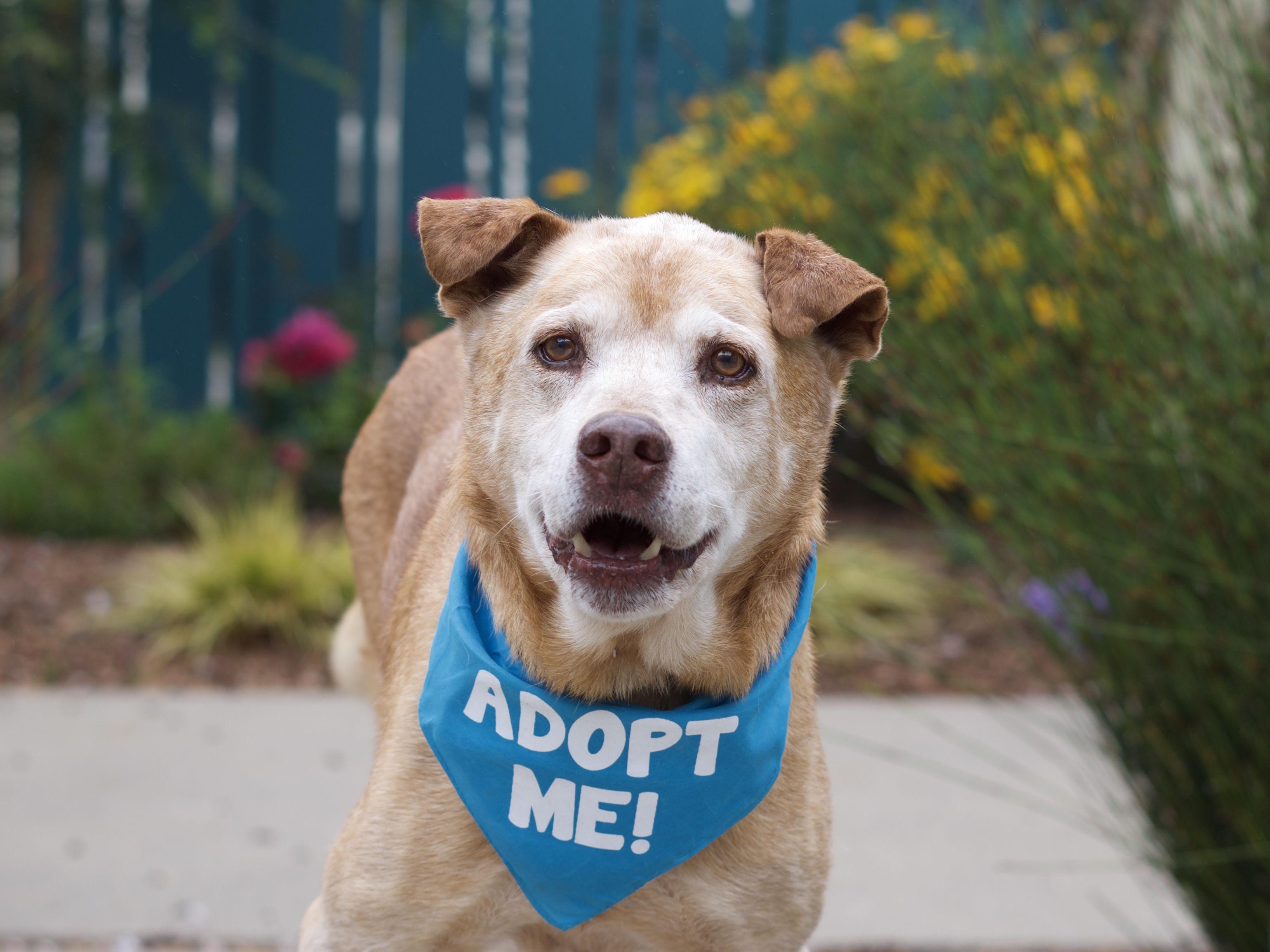 Brown dog with adoption bandana