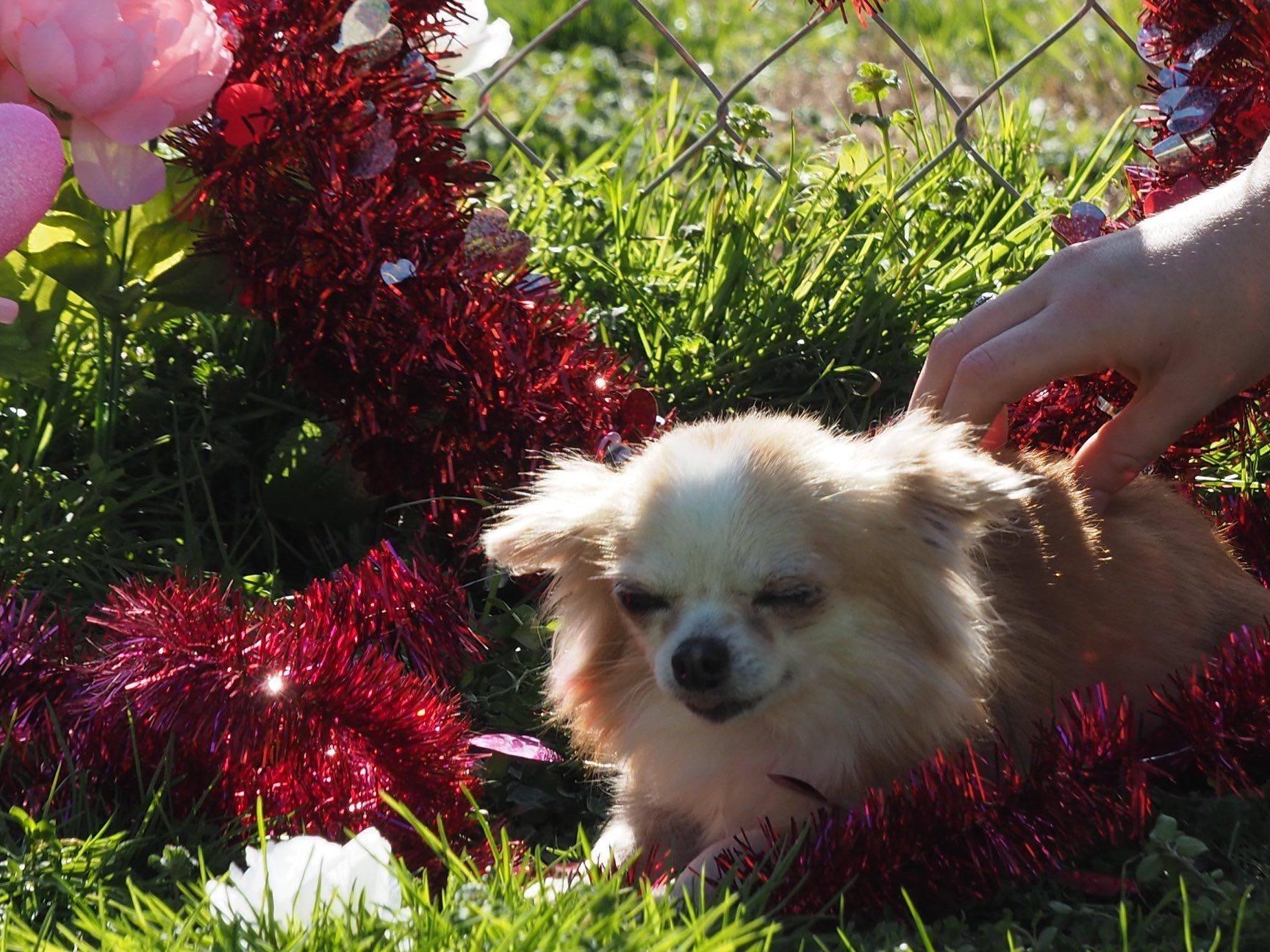 Chihuahua Solana