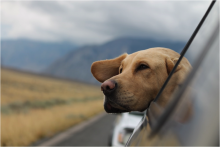 Brown dog hanging his head out a car window