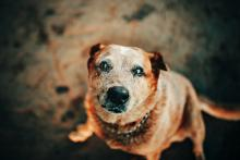 Up close brown cattle dog