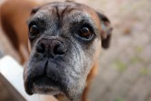 Boxer dog with grey face