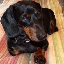Black and tan Dachshund Duchess