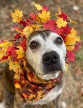 grey muzzled dog with crown made of leaves