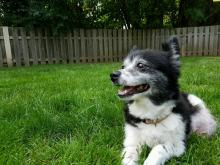 Small black and white dog laying the grass of a fenced area.