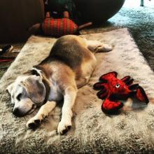 Madison the beagle