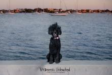 Black standard poodle sitting on a low wall in front of water with ships in background.