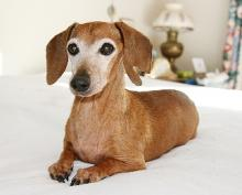 Ellie, the Dachshund, now deceased