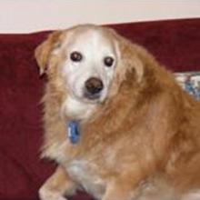 Snickers, a Golden Retriever, now deceased