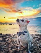 Small white dog wearing blue bowtie sitting on beach at sunset.