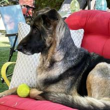 Black dog on chair