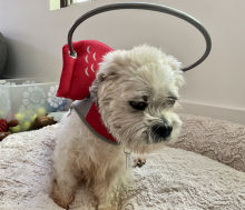 small white dog with medical halo