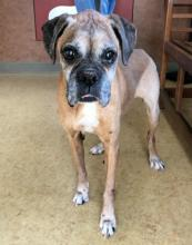 boxer dog standing in a room