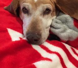 Brown and white coonhound mix on red blanket