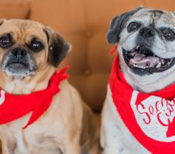 pug and pug-mix smiling at the camera in red bandanas