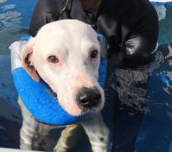 Dalmation mix in a swimming pool