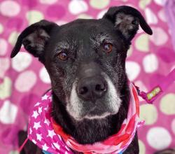 black dog with grey muzzle and pink background