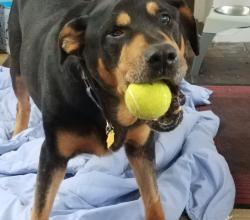 Rottweiler Storm with tennis ball