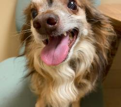 long haired chihuahua smiling